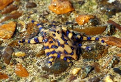 Deadly dbue ringed octopus