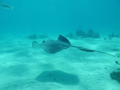 The stingray sea creature