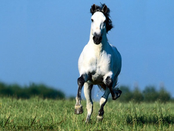 beautiful running white horse