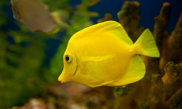 beautiful yellow tang fish