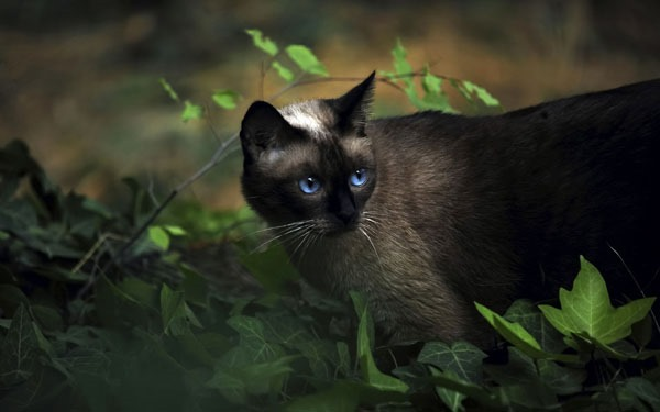 blue eyes cat wallpaper