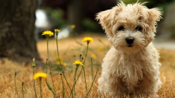 havanese cute silk dog wallpaper