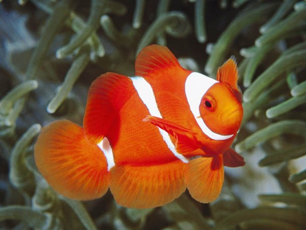 white and orange fish wallpaper